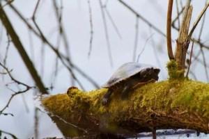 Schildkröte beim Dösen