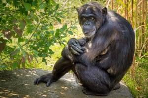 Schimpanse 1 aktuelle Bearbeitung