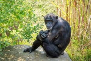 Schimpanse 1 vor 1/2 Jahr bearbeitet