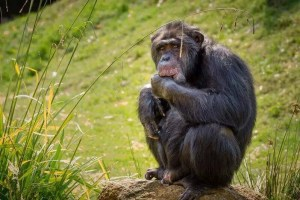 Schimpanse 2 aktuelle Bearbeitung