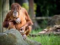 Freundlicher Orang-Utan