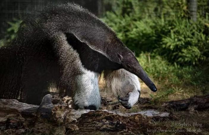 Das Wappentier des Dortmunder Zoos - Ameisenbär