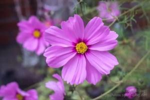 Rosa Blüte Nr. 2 mit Yashica Yashinon