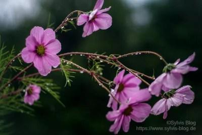 Rosa Blüten im Regen
