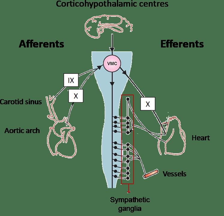 arterial baroreflex