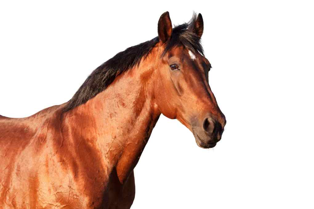Muscle supplements for horses