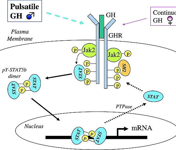 GH receptor activity leads to Stat5b activity