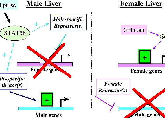 Pulsative GH Releases Male Liver Enzymes while Continuous GH Releases Female Liver Enzymes