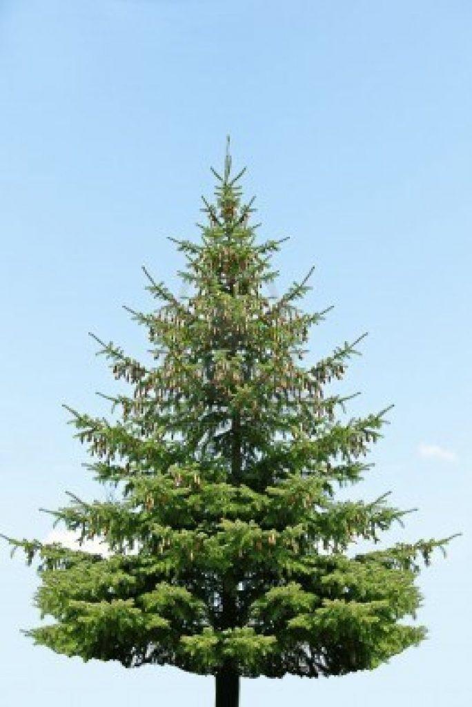 image-saa-martyrs-plant-pine-tree