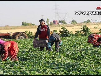Daraa increased planted land with vegetables this season