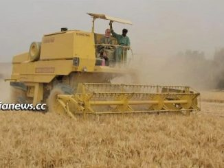 Syria wheat crops harvesting