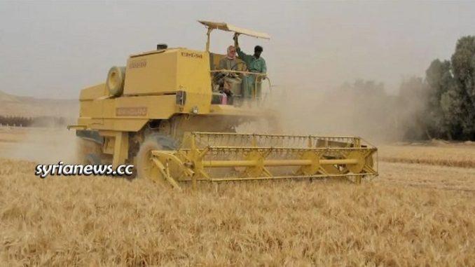 Syria wheat crops harvesting