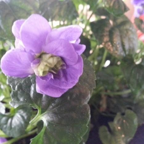 violette jardin