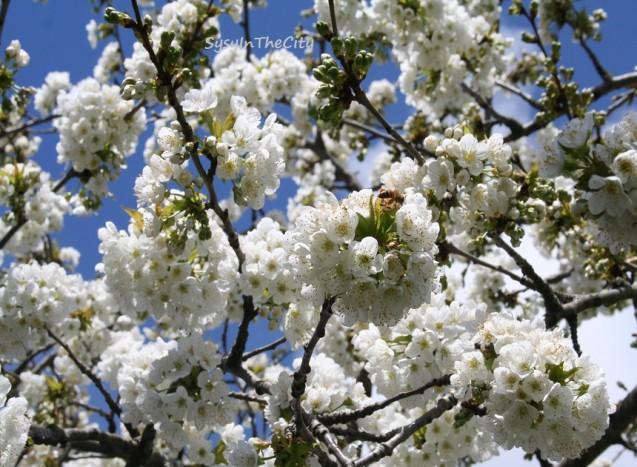 cerisier abeille sysyinthecity