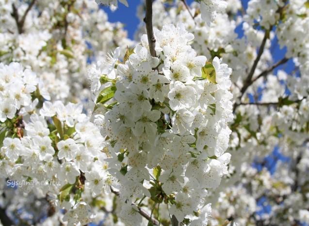 cerisier en fleurs sysyinthecity