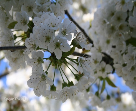 sysyinthecity cerisier en fleurs