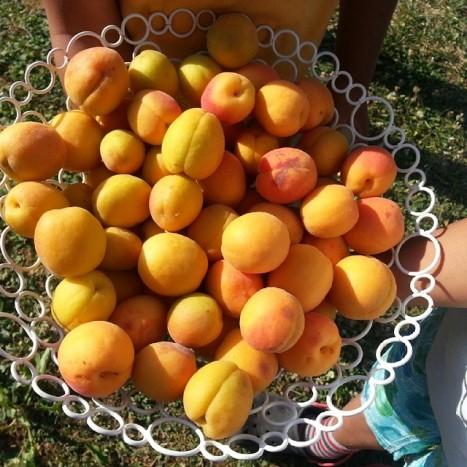 récolte abricots