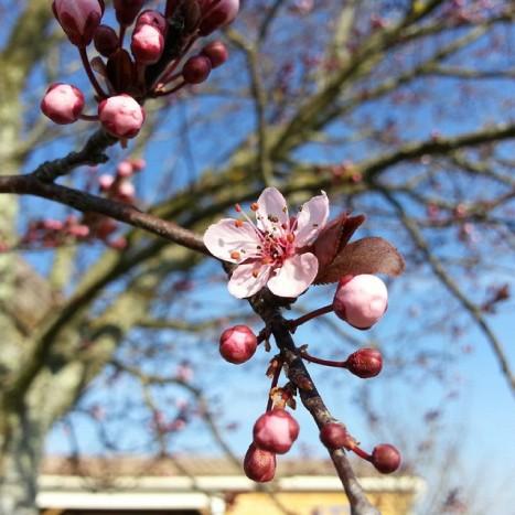 cerisier prunus sysyinthecity