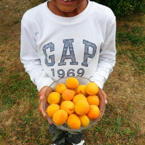 cueillette abricots