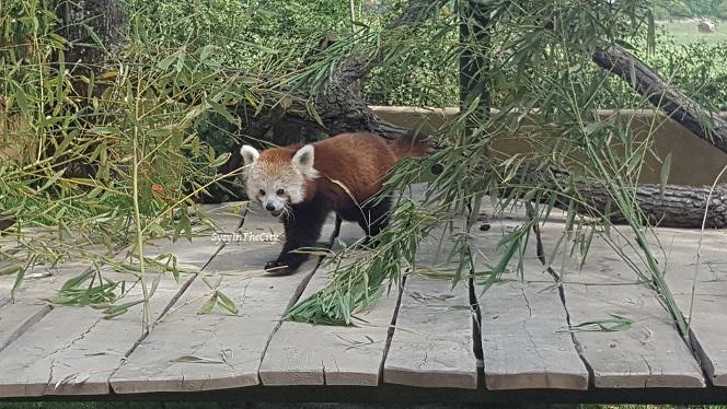 maman blogueuse toulouse sysyinthecity panda roux african safari plaisance du touch