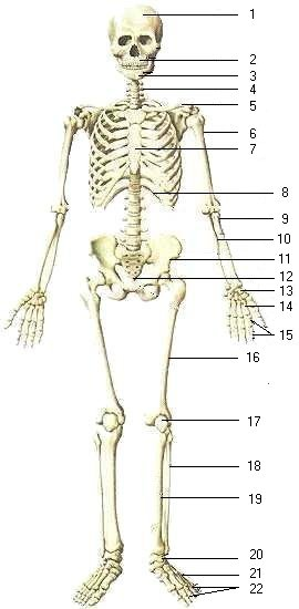 names of bones in human skeleton diagram 1980 toyota truck wiring biology skeletal system body i info page label on bone name explanation