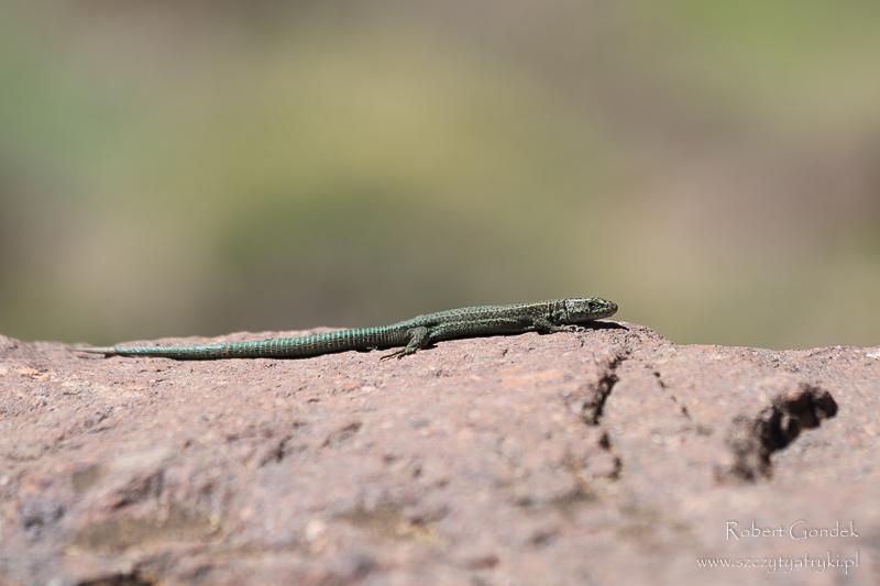 Maroko - Jaszczurka