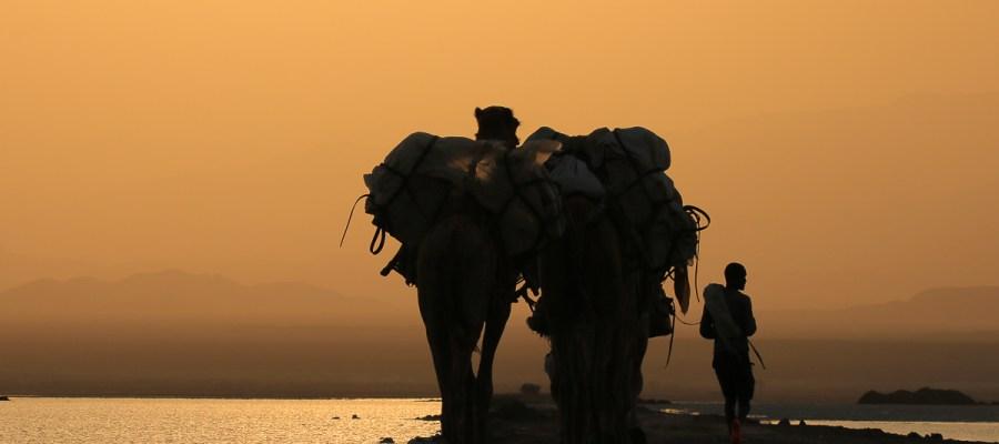 Etiopia - Pustynia Danakilska - Wielbłądy