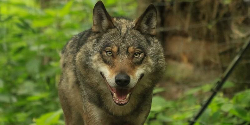 Wilk na Mazurach