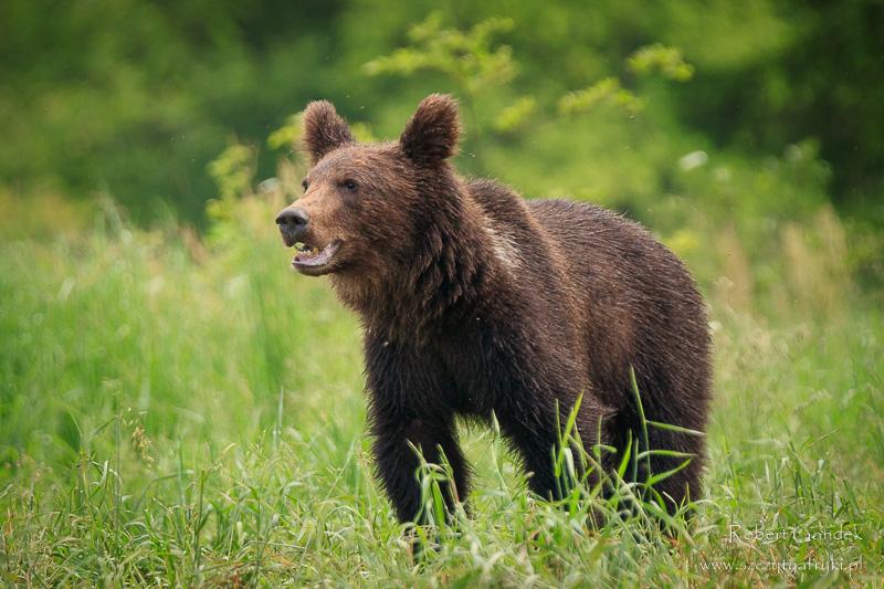 Najlepsze zdjęcia roku 2017 - Niedźwiedź w Bieszczadach