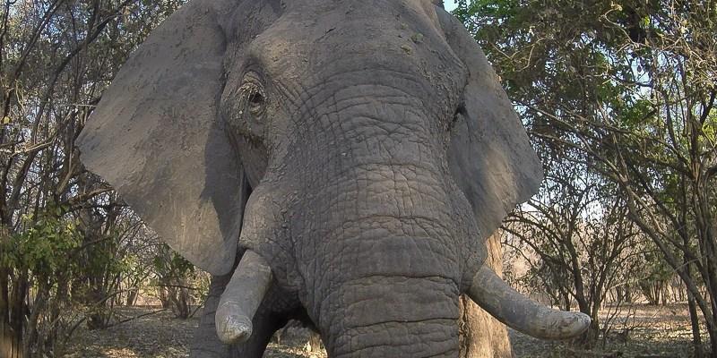 Spotkanie ze słoniem w Mana Pools