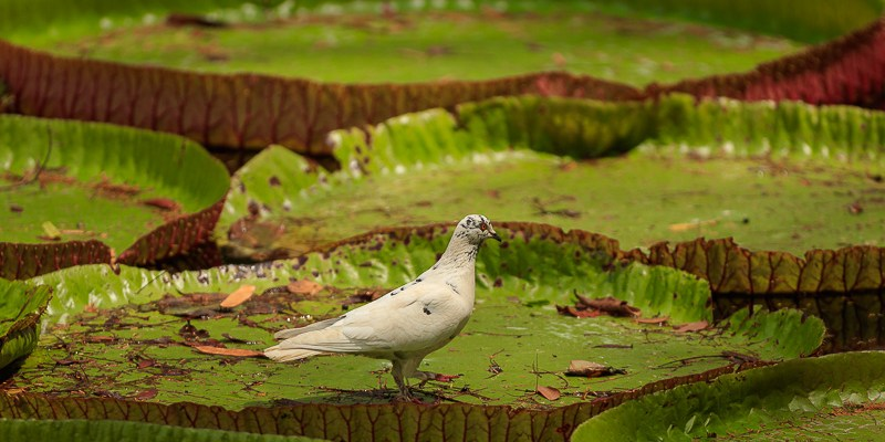 Wiktoria królewska w Sir Seewoosagur Ramgoolam Botanic Garden