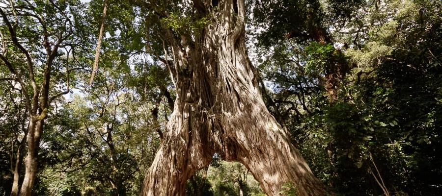 Stare drzewo figowe w Arusha National Park