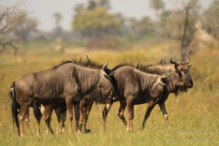 Gnu w delcie Okawango