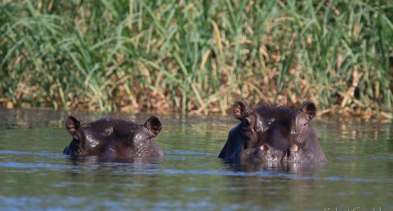 Hipopotamy w Okawango