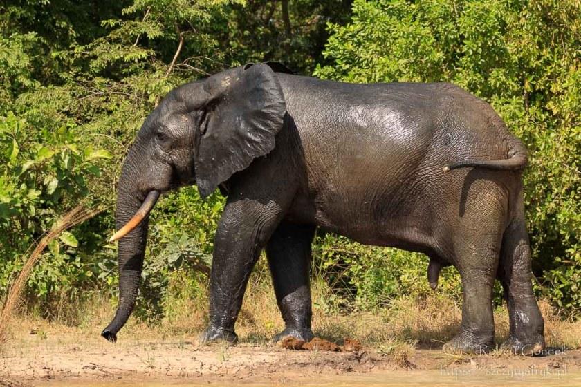 Park Narodowy Mole – słoń afrykański