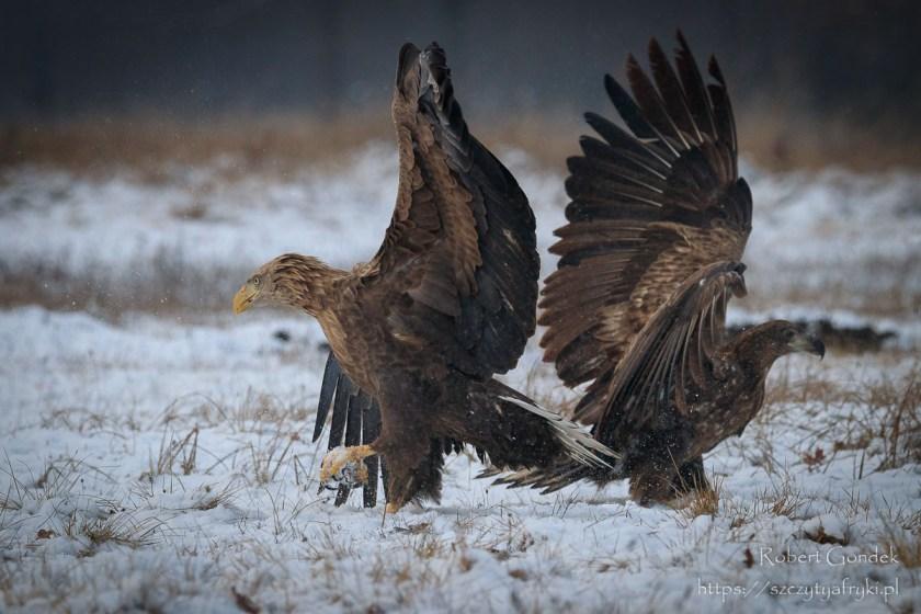 Ptaki w Polsce - Bieliki