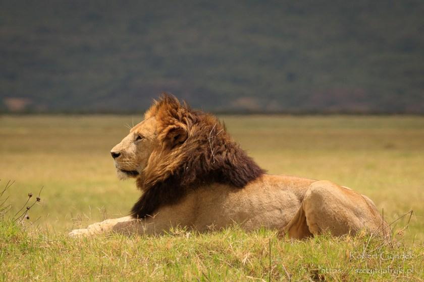 Lew w Ngorongoro - Tanzania