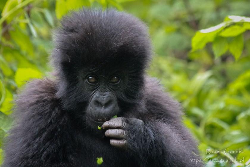 Najciekawsze miejsca w Afryce - Goryle górskie w Rwandzie