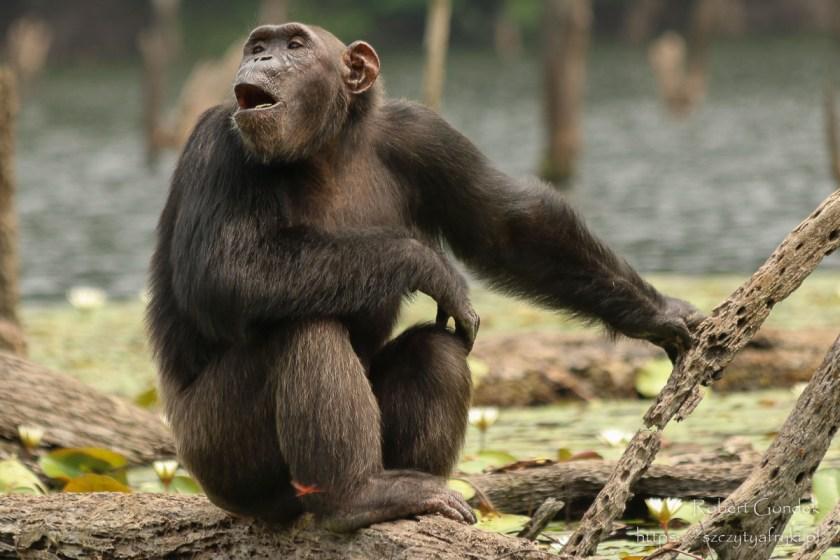 Szympans na wyspie w Gabonie