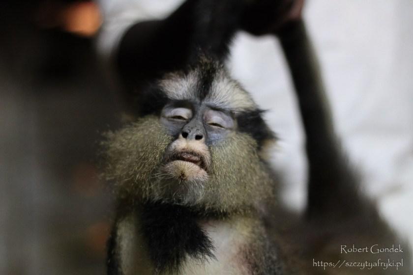 Upolowana małpa w Boka Boka