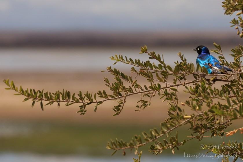 Błyszczak rudobrzuchy w Parku Narodowym Amboseli w Kenii