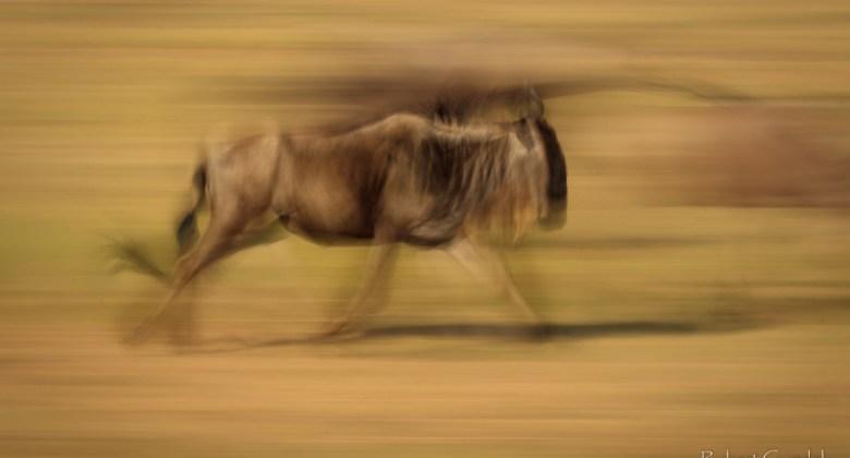 Biegnące gnu w rezerwacie Masai Mara w Kenii
