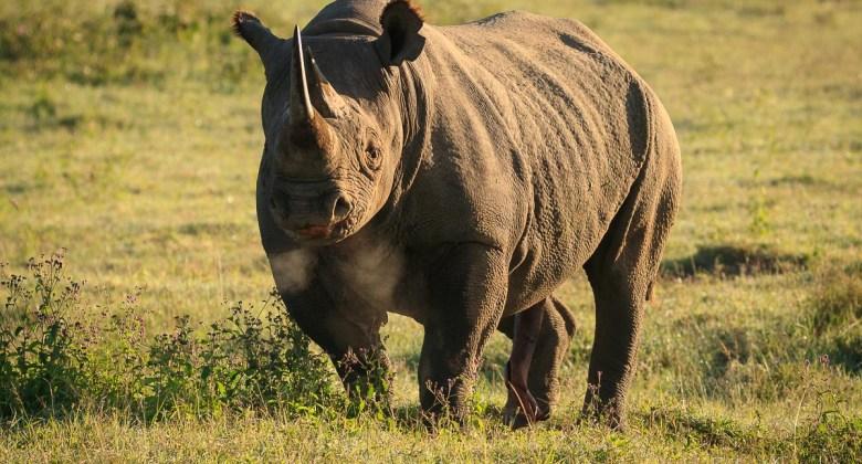 Czarny nosorożec w Parku Narodowym Nakuru w Kenii