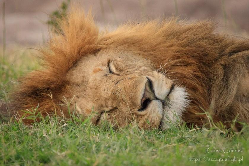 Lew w Masai Mara - najlepsze zdjęcia z Afryki w 2019 roku