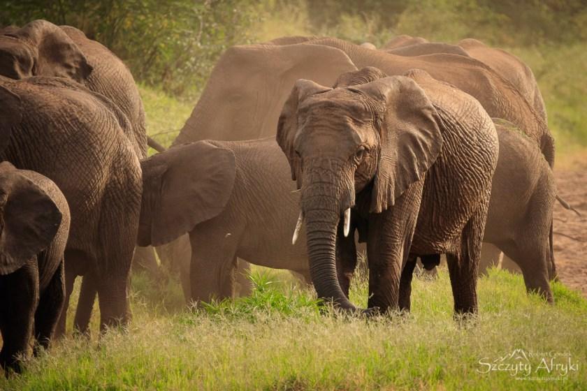 Słonie w Parku Narodowym Lake Manyara