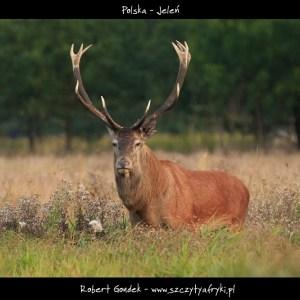 Zdjęcie jelenia z Polski