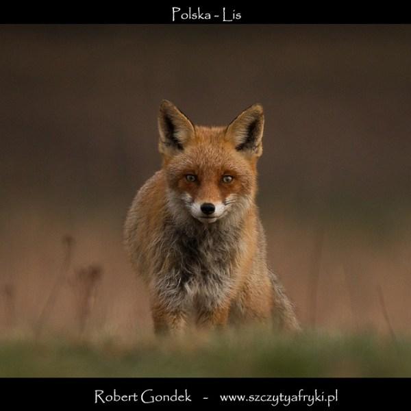 Zdjęcie lisa z Polski