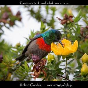 Zdjęcie nektarnika oliwkowobrzuchego z Kamerunu
