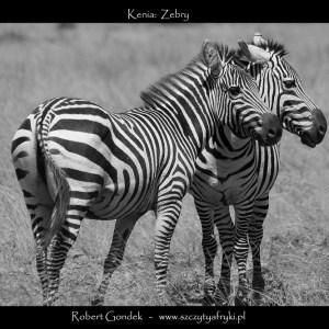 Zdjęcie pary zebr z Kenii