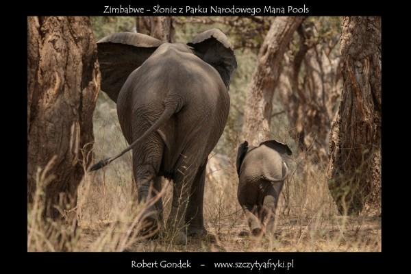 Zdjęcie słoni z Zimbabwe